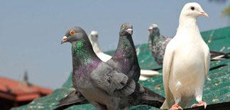 Domowe sposoby odstraszania gołębi